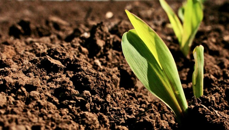 corn seedling in soil