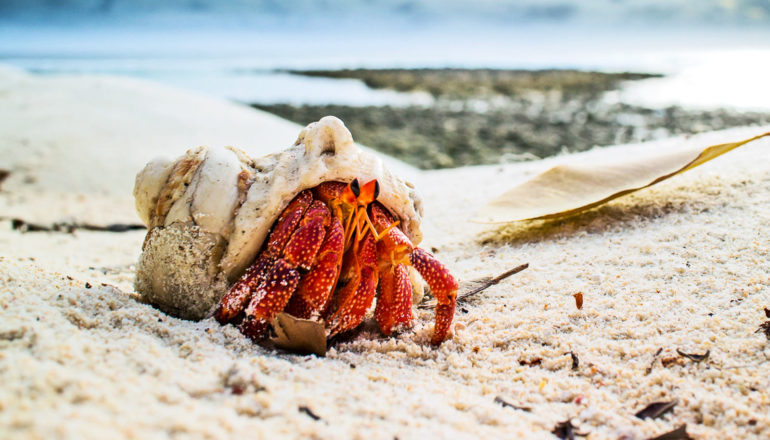 An orange hermit crab in a shell sits on a beach with the ocean in the background