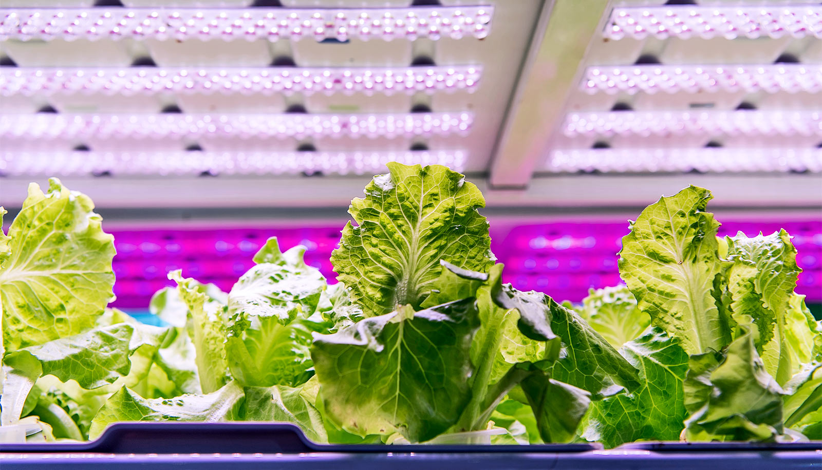 Standards would boost efficiency of LED lighting in greenhouses