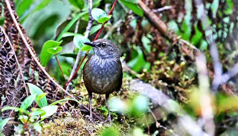 The brown and gray Taliabu Grasshopper-Warbler sits on mound of leaves and dirt in a forest