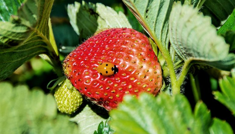 A ladybug sits on a strawberry surrounded by green leaves