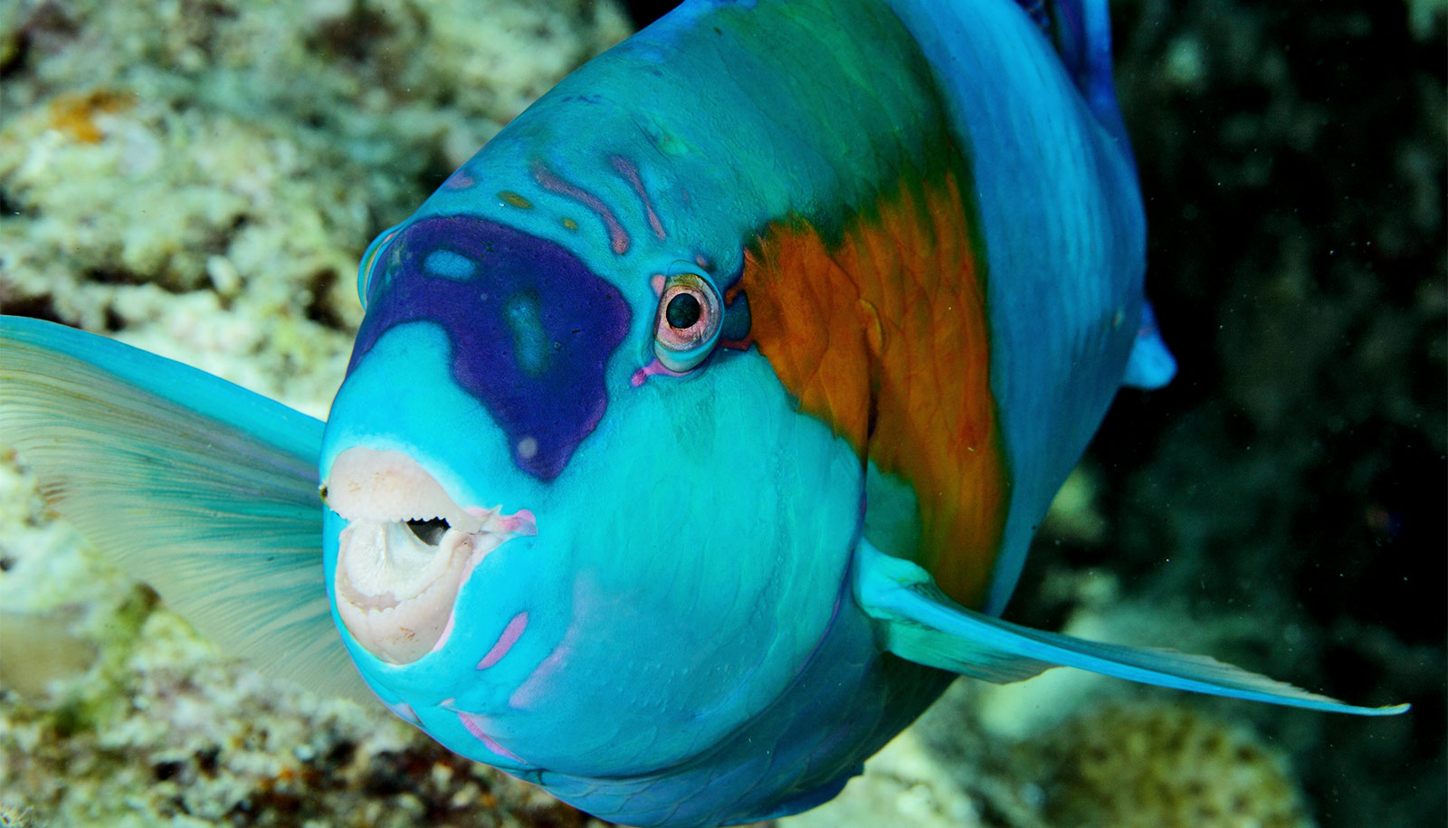 Fishing for 'herbivores of the sea' could risk coral reefs