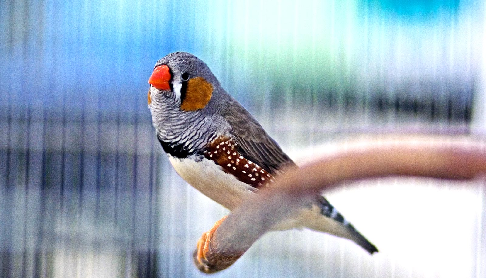 Sleep is key for zebra finches learning to sing