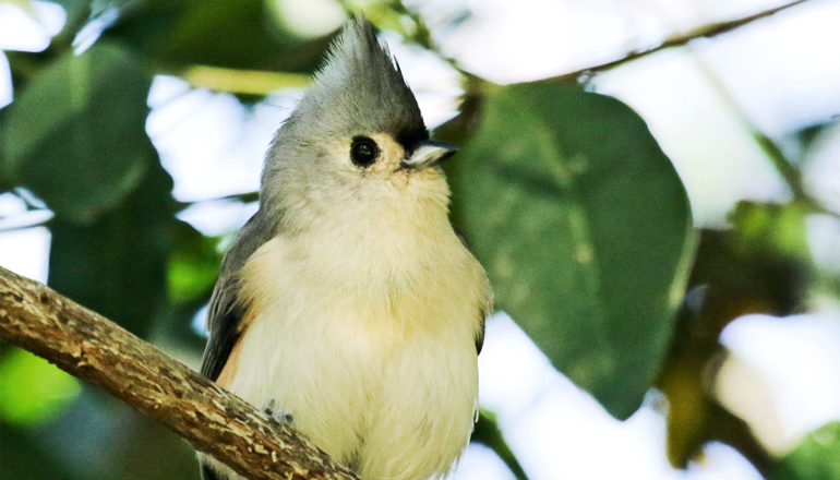 The bird has a white and yellow belly and face, with a gray tuft sticking straight up from its head. It's standing on a branch with leaves and the sky in the background