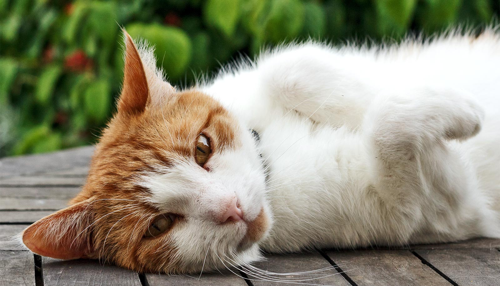 Cat DNA map sheds light on rare syndrome
