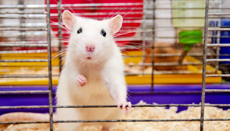 A white lab mouse stands up in a cage, holding itself up with one arm on the bars