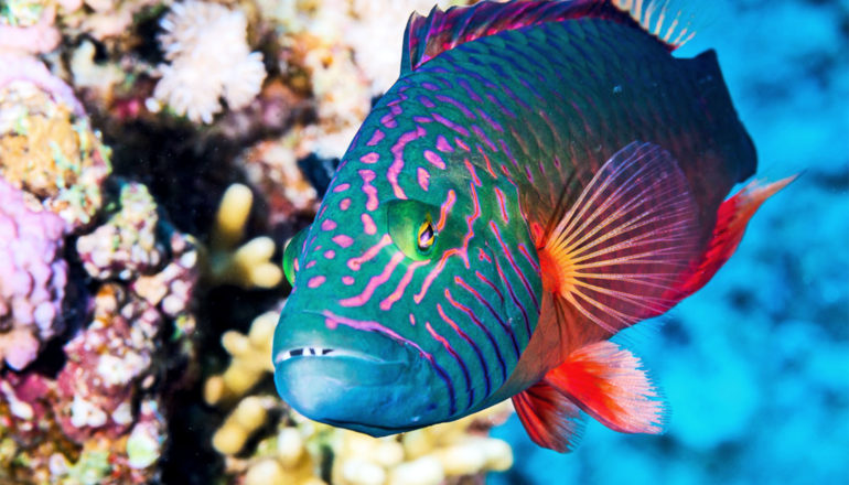 A colorful blue and pink-striped fish swims past corals in the ocean