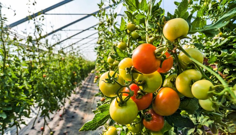Red, green, and yellow tomatoes hang on a vine inside a greenhouse