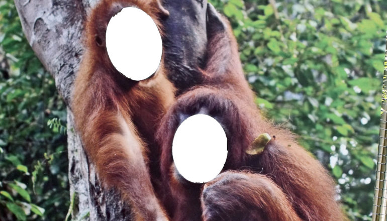 faces cut from image of two orangutans in tree