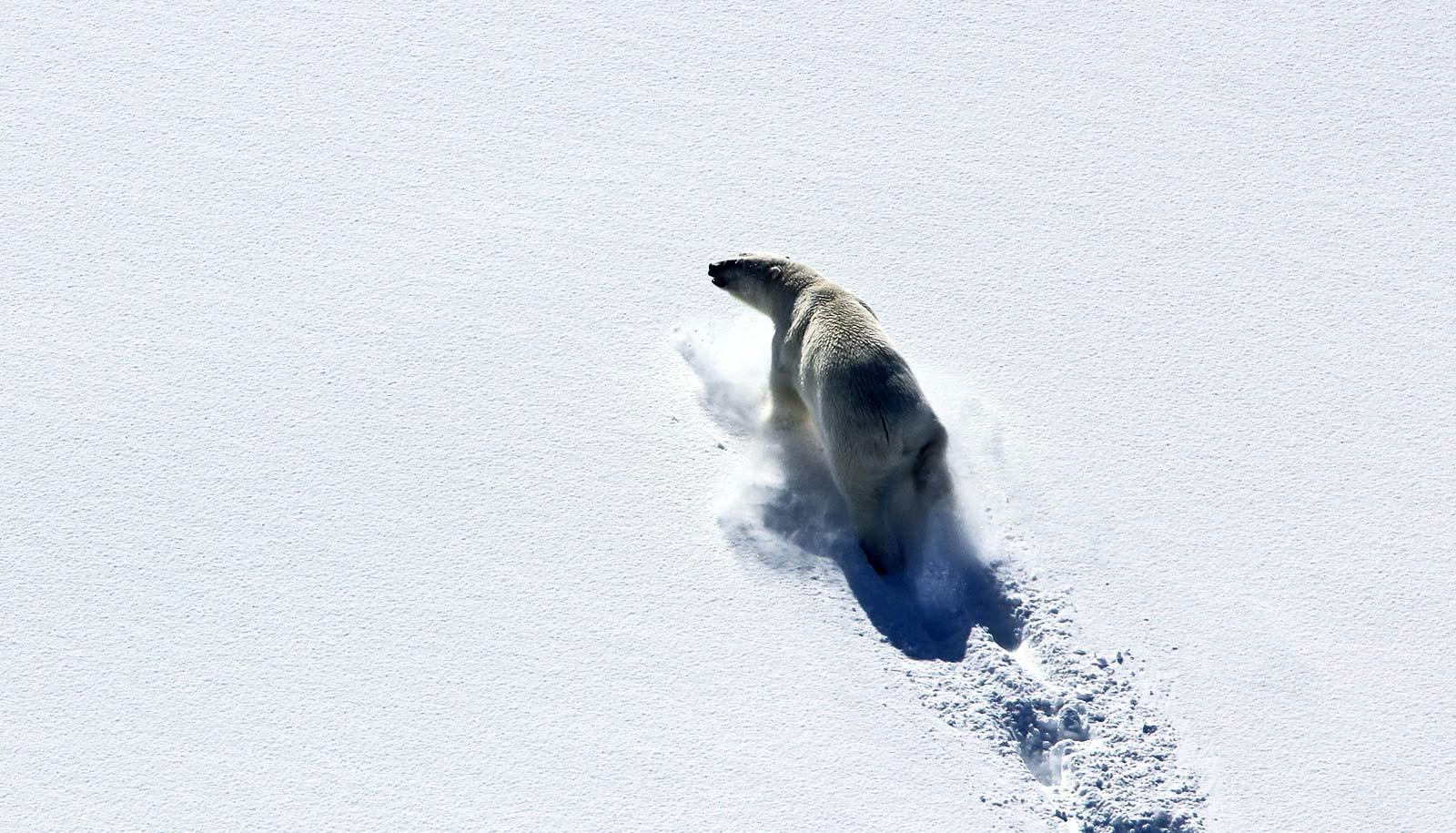 Sea ice loss led to skinnier polar bears and fewer cubs - Futurity