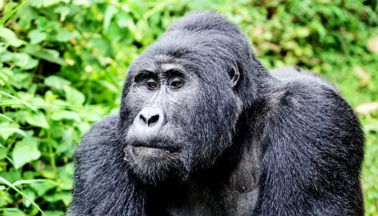 A mountain gorilla stands in front of a leafy, green forest