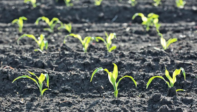 Tiny green shoots of corn pop out of dark soil in a field