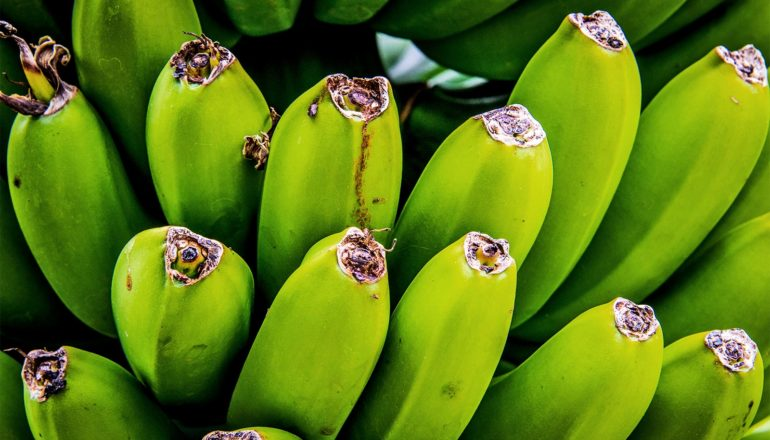 Green, ripening bananas sit on a tree in bunches