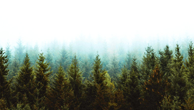 Trees stand in a forest, fading into the distance against a white sky