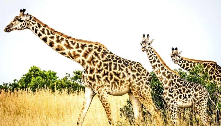 Three giraffes walk across a grassy plain
