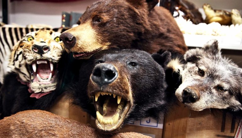 A taxidermied tiger, two bears, and wolf lay in a pile after being confiscated