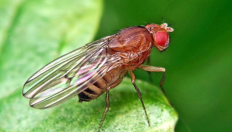 A fruit fly stands on a leaf, looking over the edge, with light shining on its translucent wings