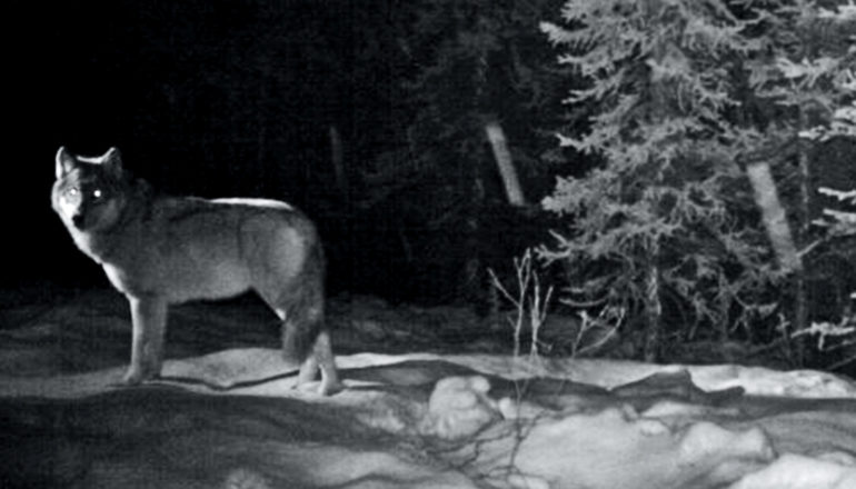 A wolf looks at the camera with eyes glowing viewed in nightvision
