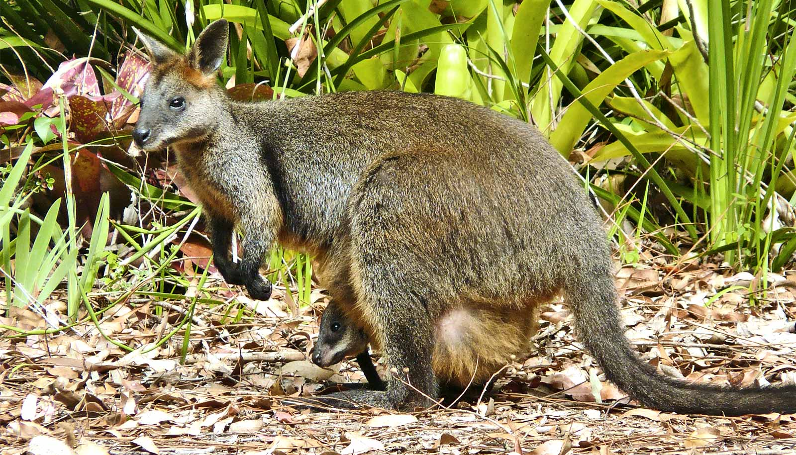 Swamp wallabies are permanently pregnant - Futurity