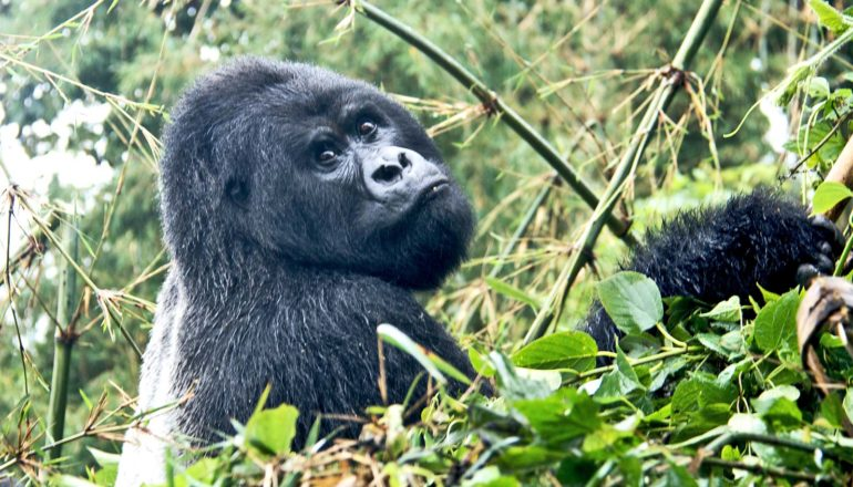 A gorilla looks at the camera over its shoulder, surrounded by green leaves