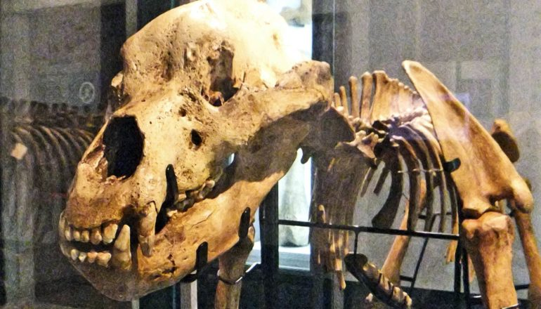 A cave bear skeleton stands in a museum with it's skull close to the camera