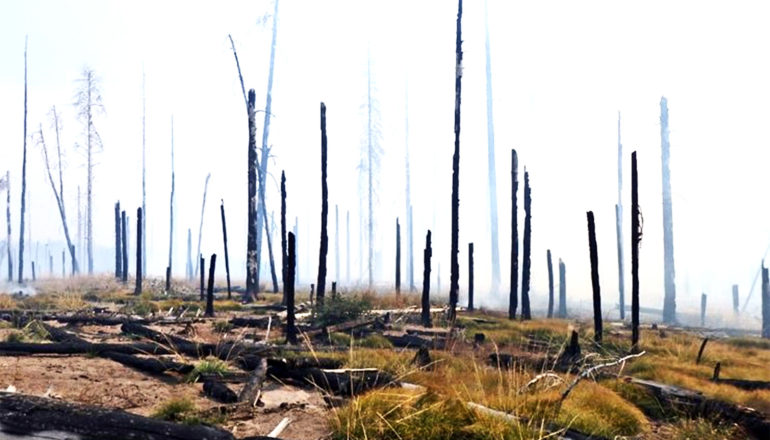A forest has burned, with burnt trunks standing straight against a foggy background