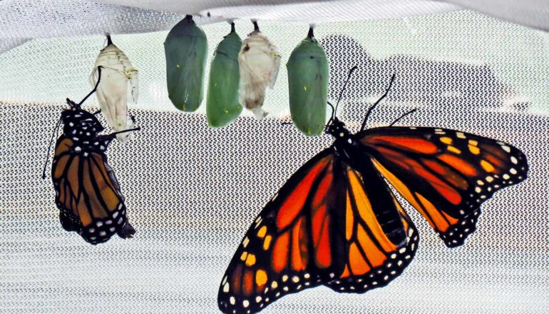 monarchs and cocoons in netting