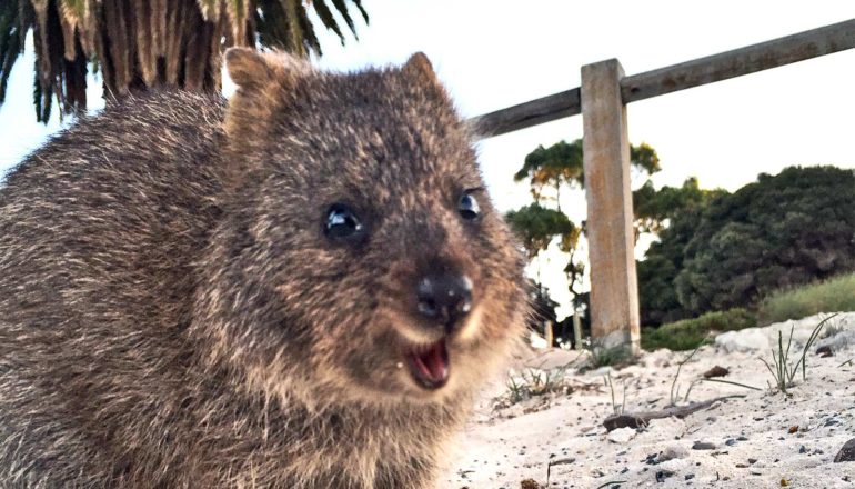 A quokka looks like its smiling in front of a wooden fence with trees in the background
