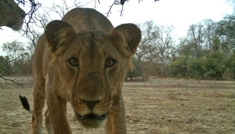 lion stares right into camera