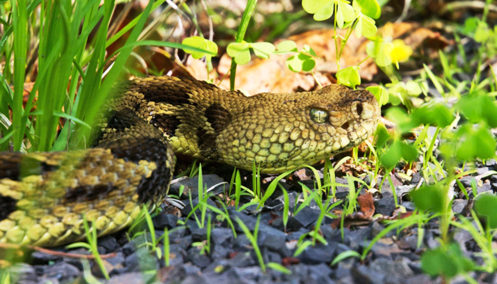 Sunny spots for rattlesnakes also attract predators - Futurity
