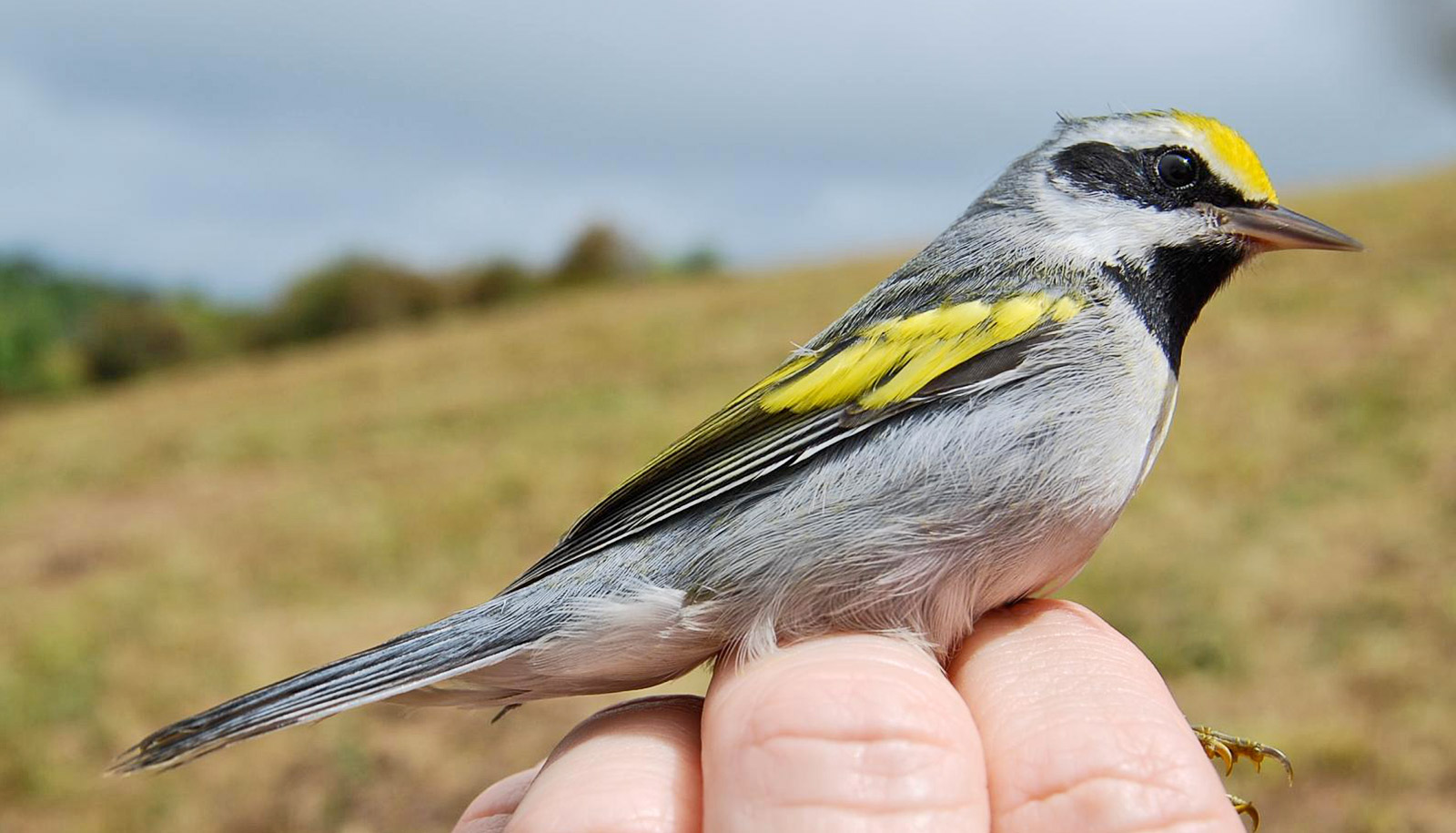 hand holds small gray bird with yellow on wings, black and yellow and face
