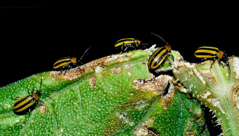 amarelo e preto listrado besouros na planta