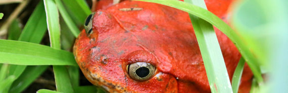 red frog in grass