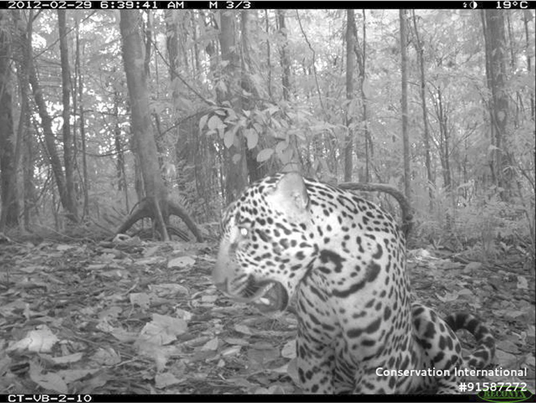 b/w image of jaguar in forest