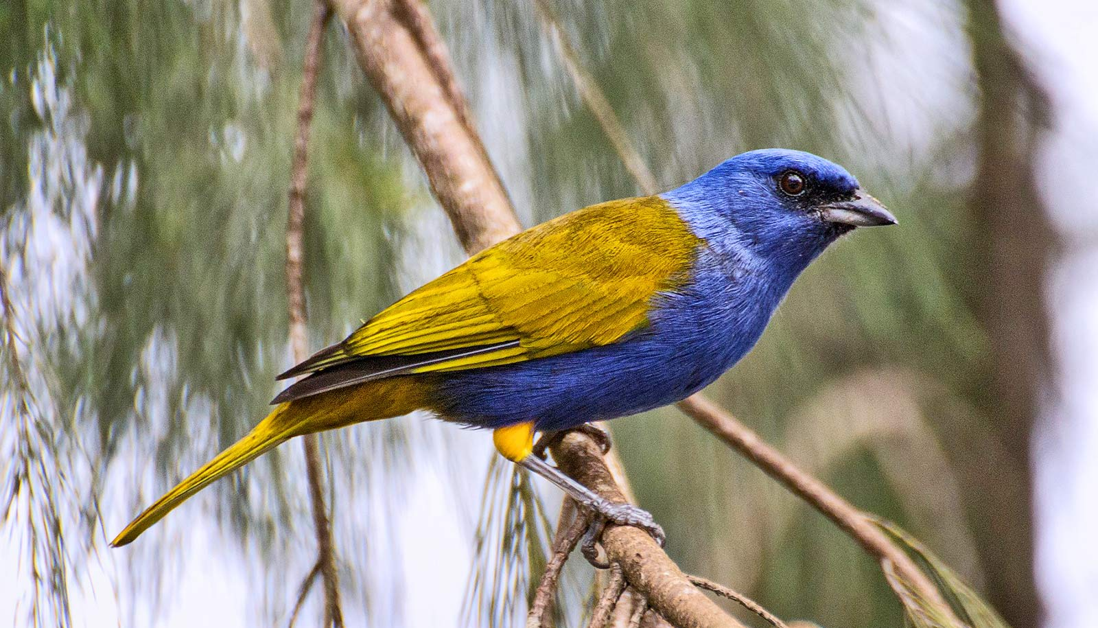 blue and yellow bird on branch