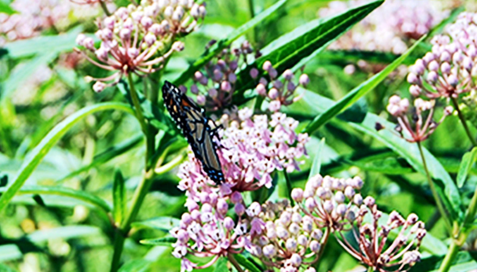 Monarchs lay more eggs where milkweed isn't alone - Futurity