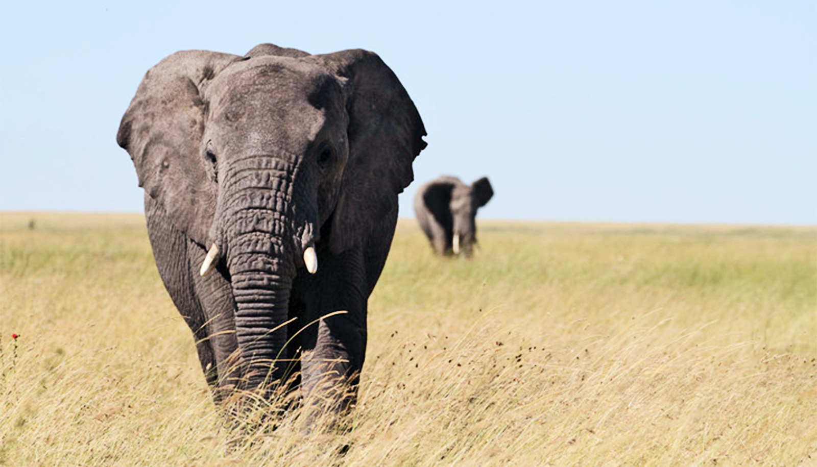 Wildlife corridors keep elephants connected by genes - Futurity