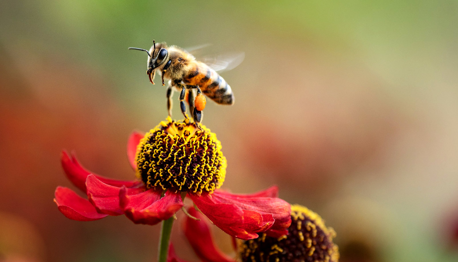 World map of bees could help keep them buzzing - Futurity