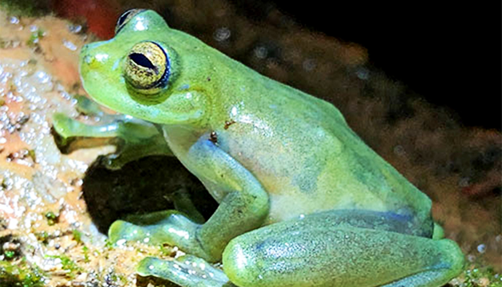 Watch a glass frog get funky when mating croaks are too quiet - Futurity