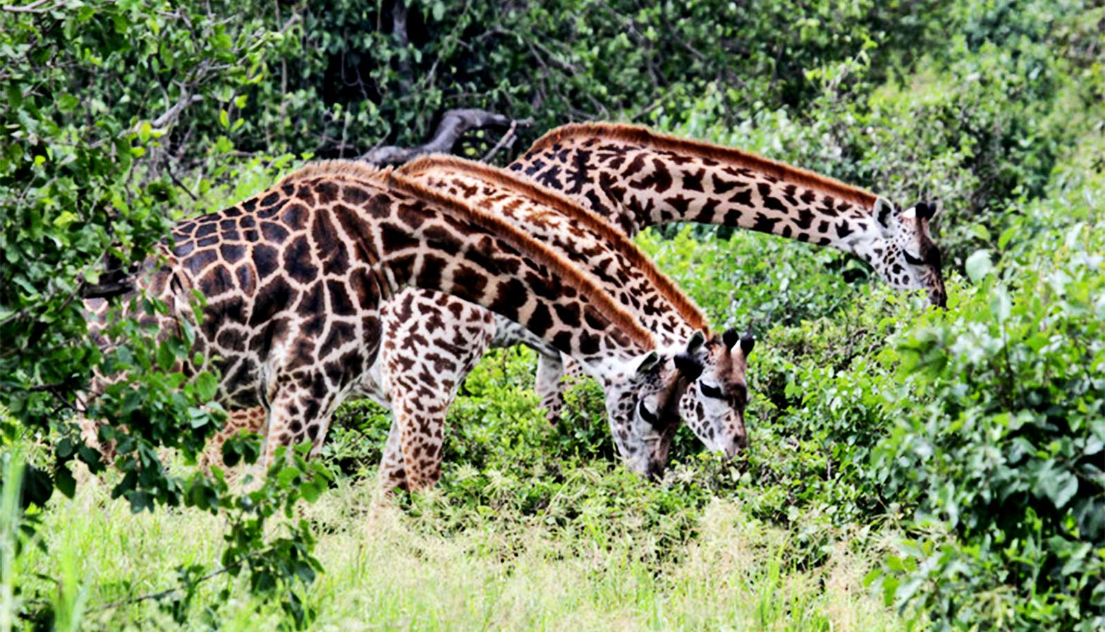 Female giraffes with more friends live longer