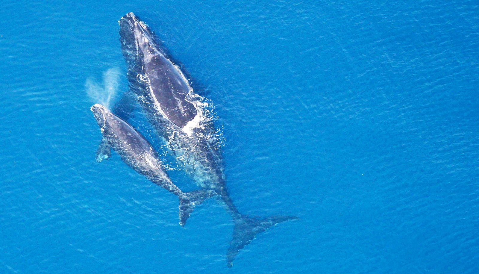 Fewer than 366 North Atlantic right whales are left on Earth - Futurity