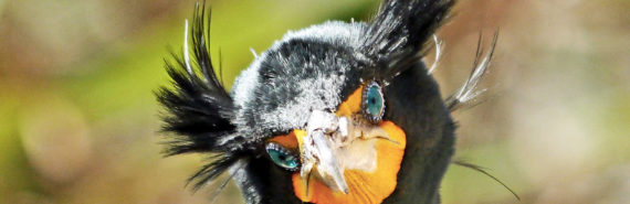 double-crested cormorant face with orange beak, blue eyes, and two puffs of feathers on head