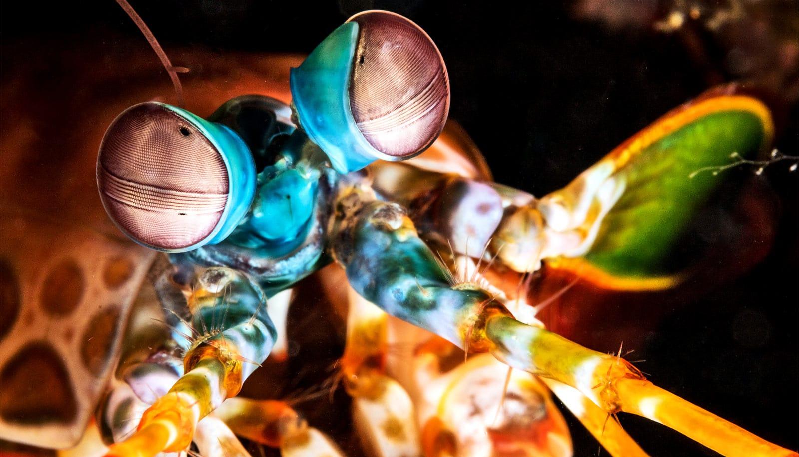 Mantis shrimp eyes inspire new optical sensor - Futurity