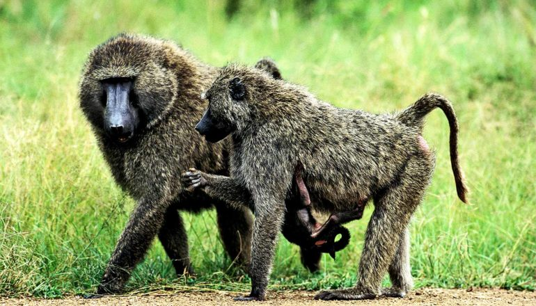 A male and female baboon walk side by side