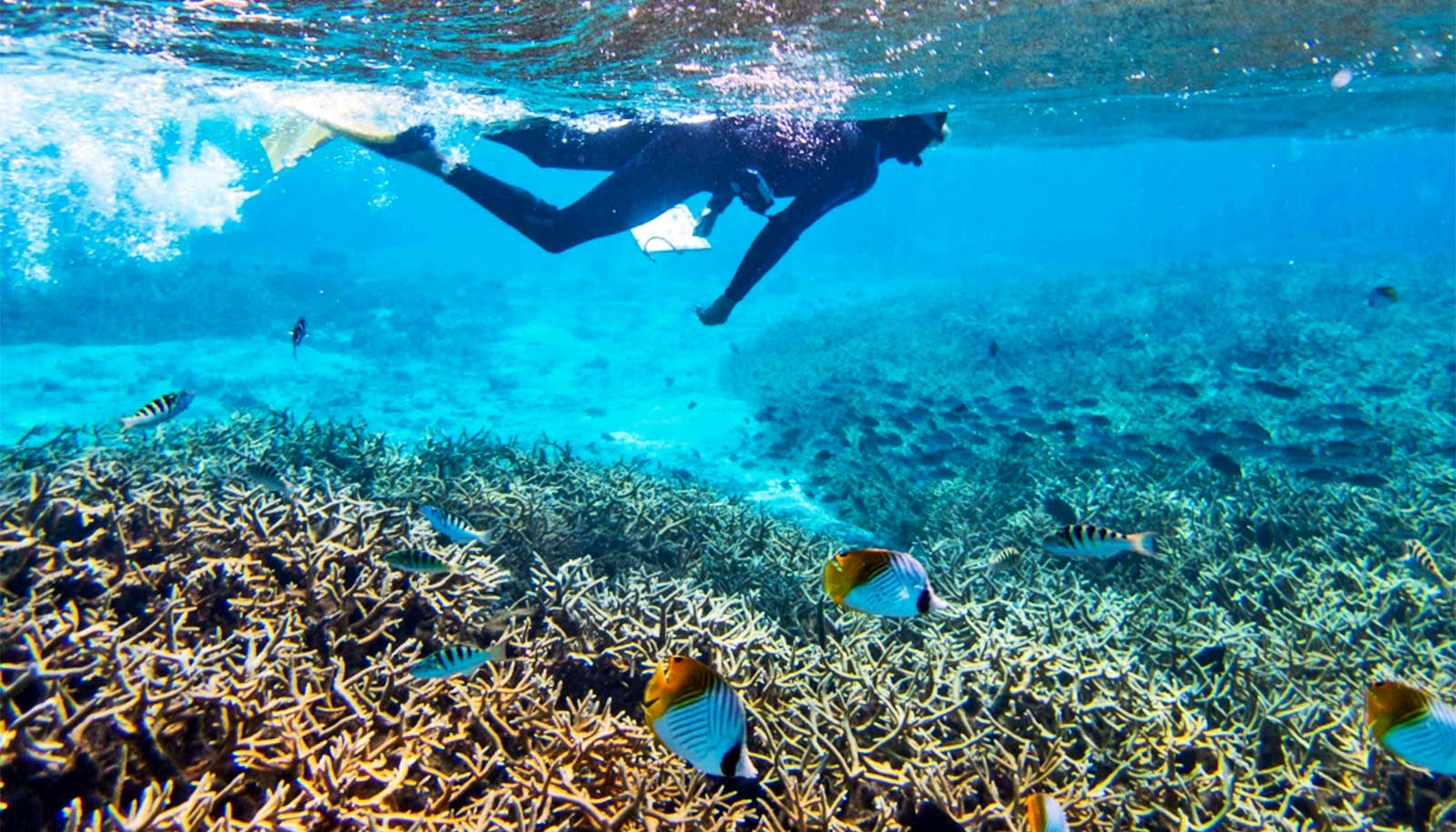 Predatory fish pose a greater threat to young corals than we thought