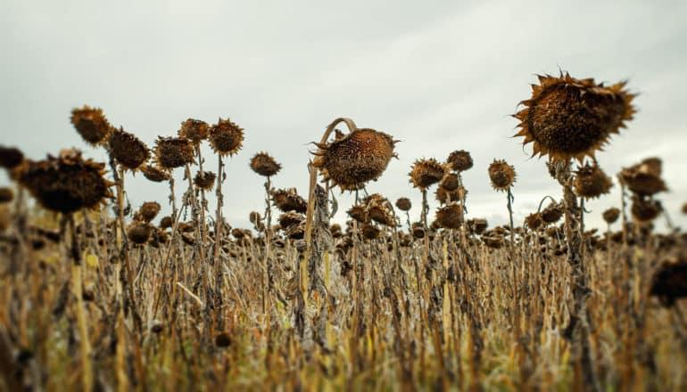 dead sunflowers in field