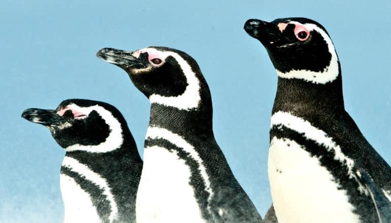 3 penguins standing against a blue sky