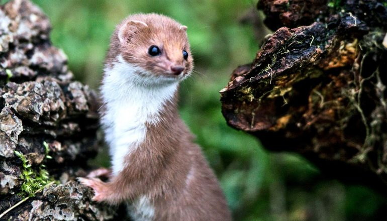 A brown weasel with a white belly leans on a rock and looks over its shoulder