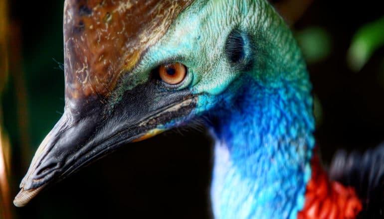 angry cassowary eye